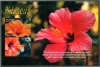 GAMBIA - Scott NEW ISSUE Hibiscus Flower Souvenir Sheet (1)  Another stamp from Herrick Stamp Company